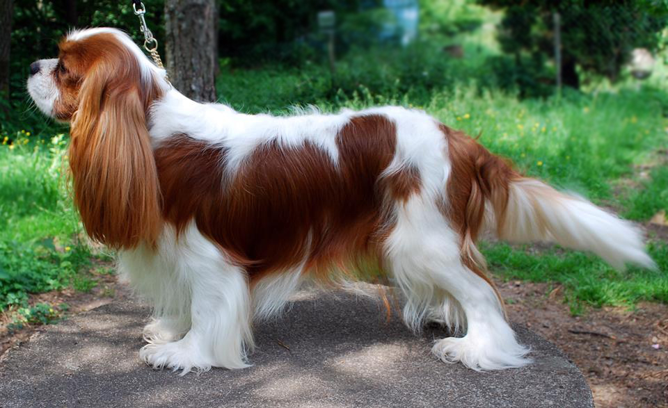 Best Dog Shampoo for King Charles Spaniel, Silky Coat Shampoo