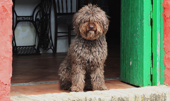 Best Dog Shampoo for Spanish Water Dog, Best Dog Shampoo for Curly coat
