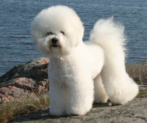 BEST DOG SHAMPOO FOR BICHON FRIESE