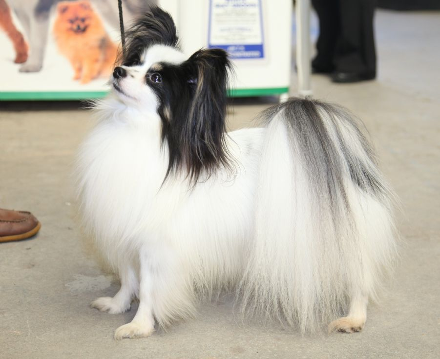 Best Dog Shampoo for Papillon, Best Dog Shampoo for White and Black Silky Dog