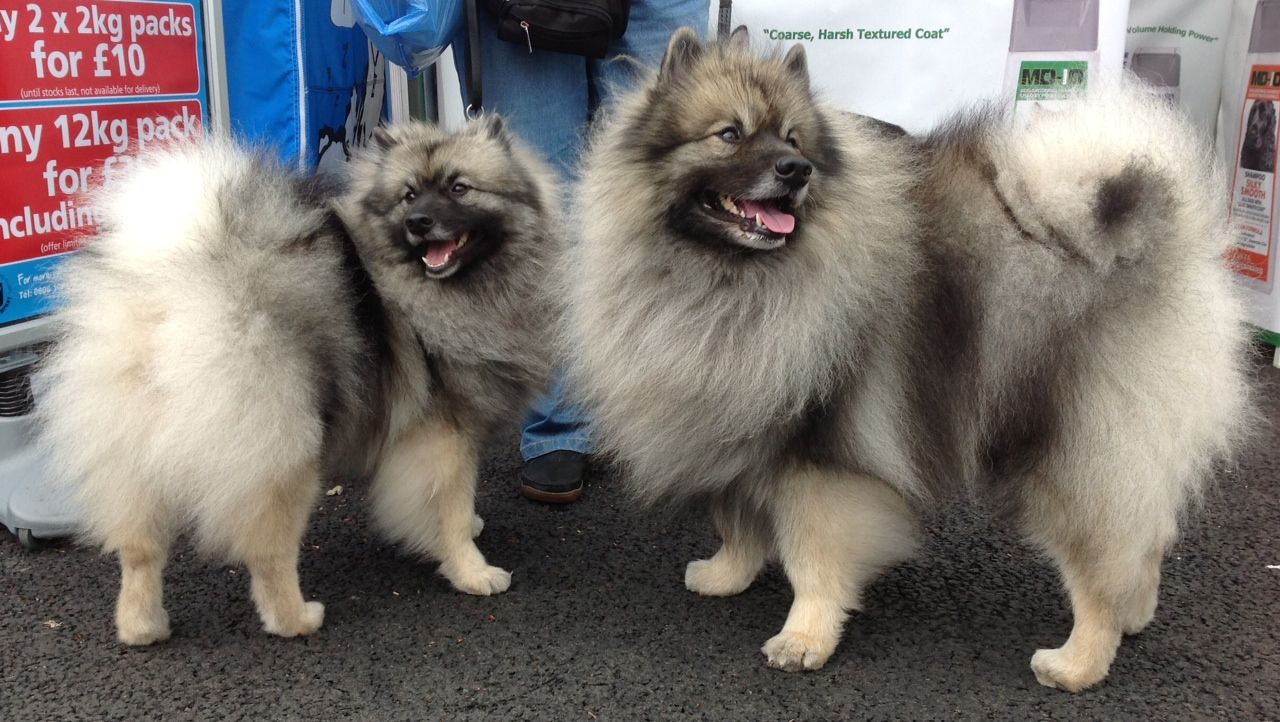Best Shampoo for Keeshond, Coarse Coat Shampoo, Best Dog Shampoo