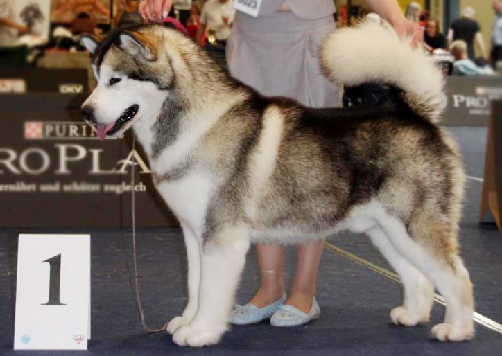 Best Dog Shampoo for Alaskan Malamute World Dog Show Shampoo