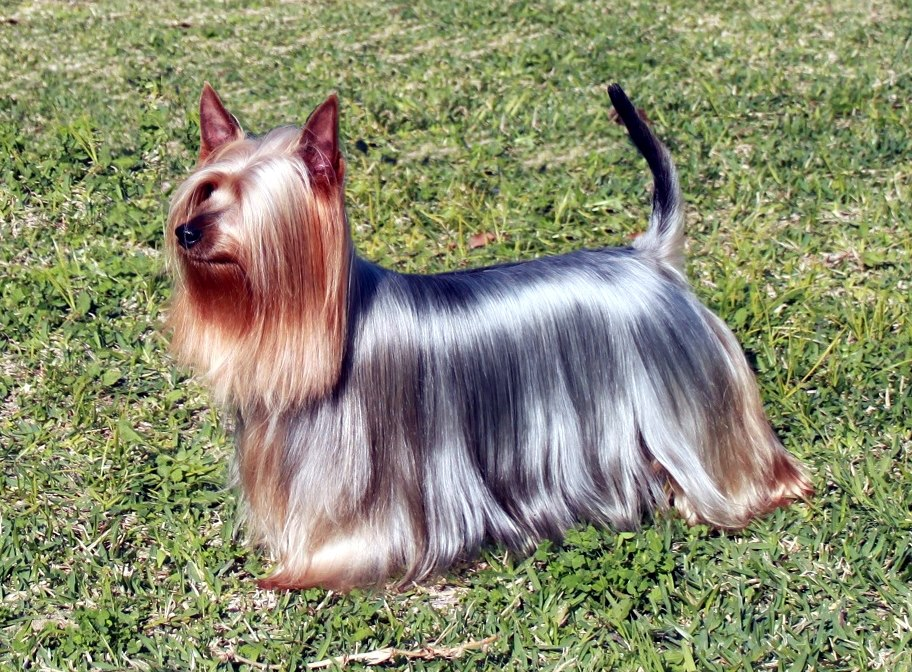 Best Dog Conditioner for Silky Coat, Yorkshire Terrier, Australian Silky Terrier