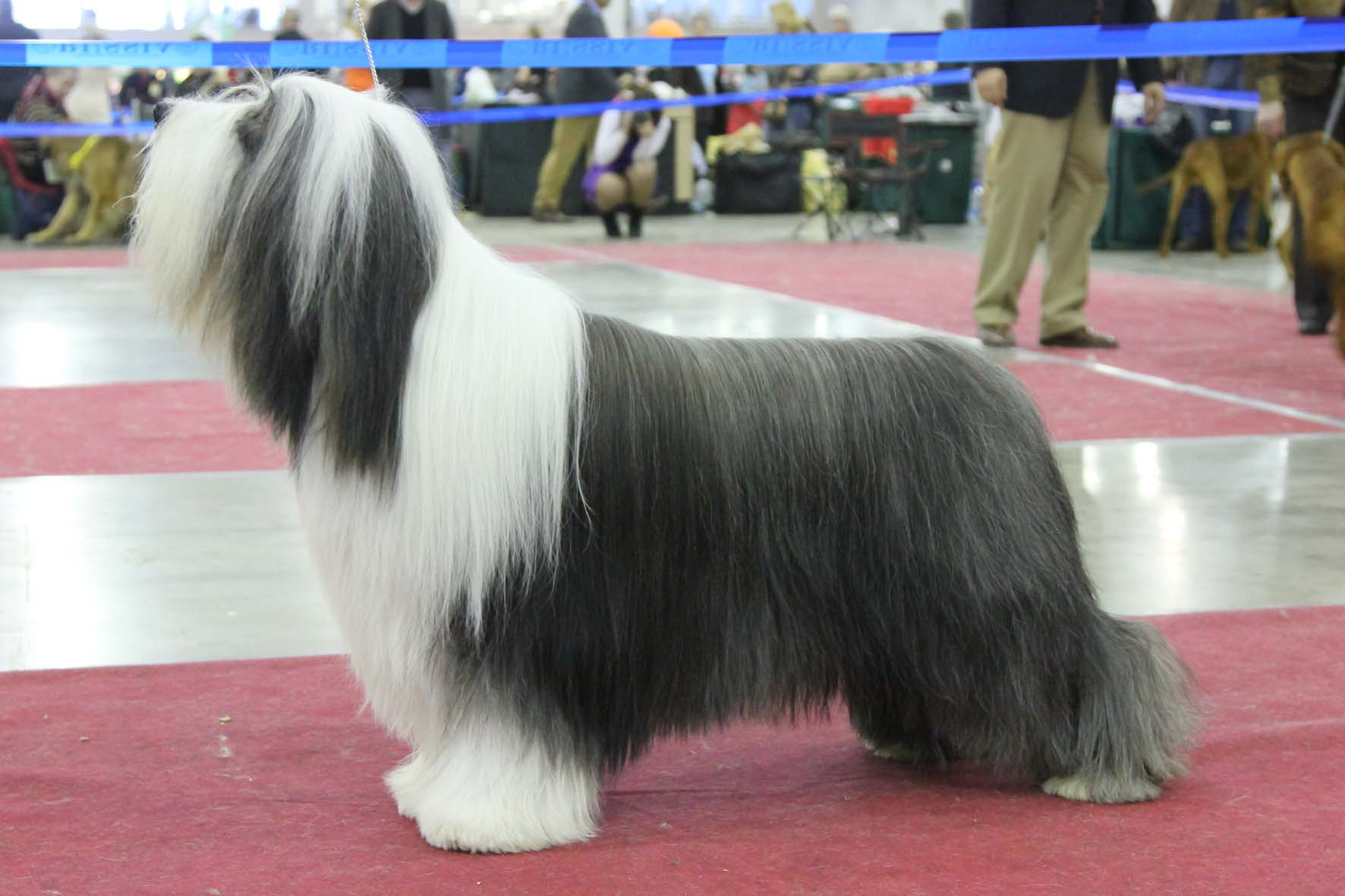 Best Dog Shampoo for Bearded Collie