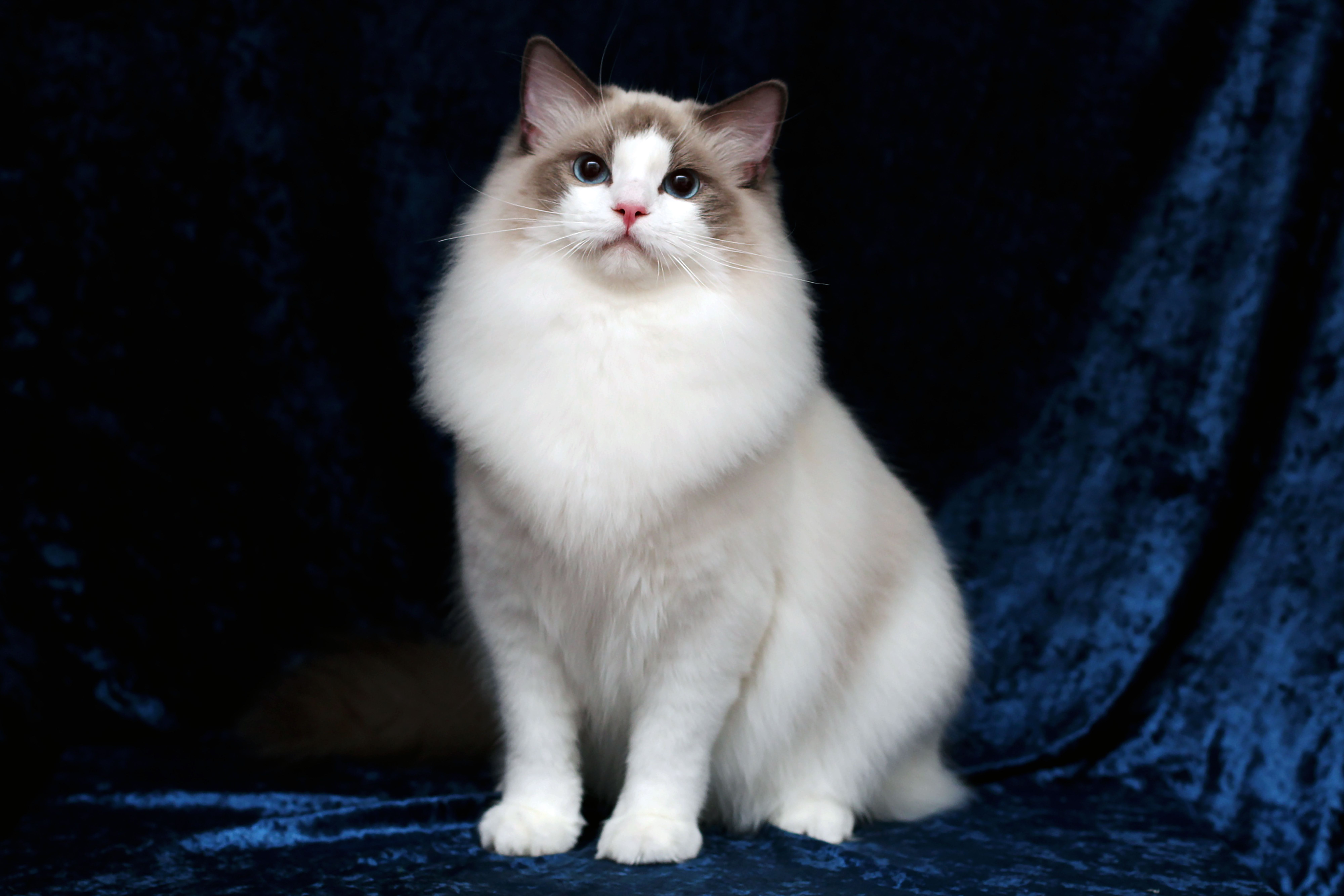 Best Cat Conditioner for Silky Coat, Ragdoll,