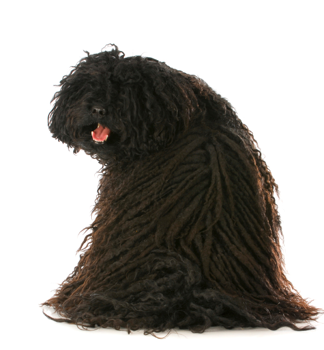 Best Dog Shampoo for Hungarian Puli Texture Coat